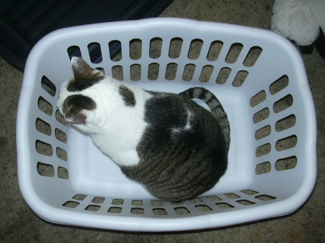 Freya occupying the laundry basket.