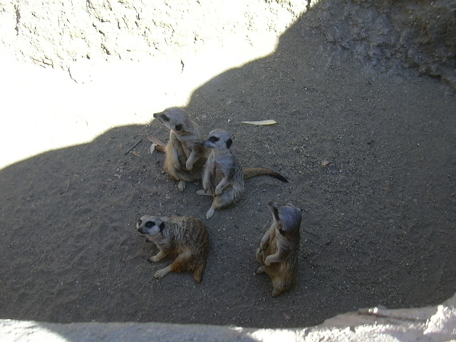 Meerkats at the LA Zoo