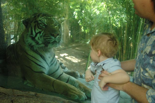 Daniel and the Sumatran tiger at the Sacramento Zoo