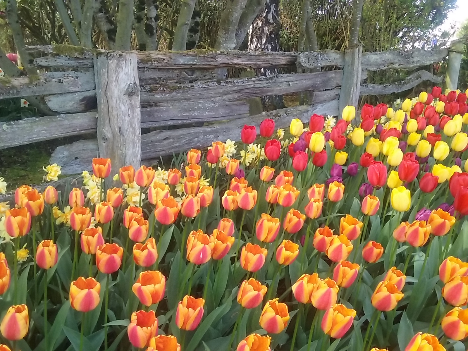Tulips at Roozengarde